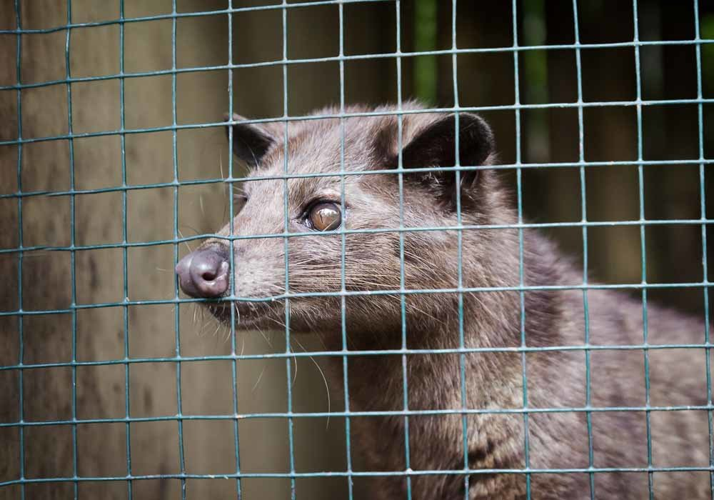 Caged'luwak', or palm civet cat, in Indonesia