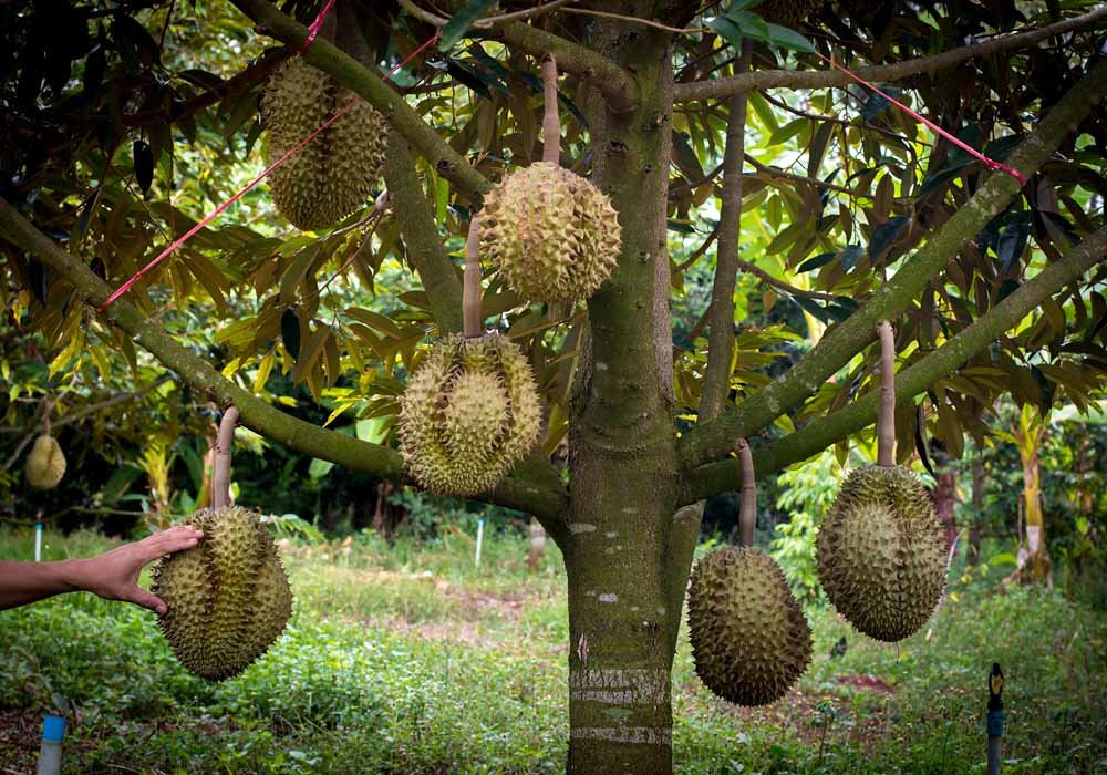 A farmer checks his durian orchard in Sumatra, Indonesia