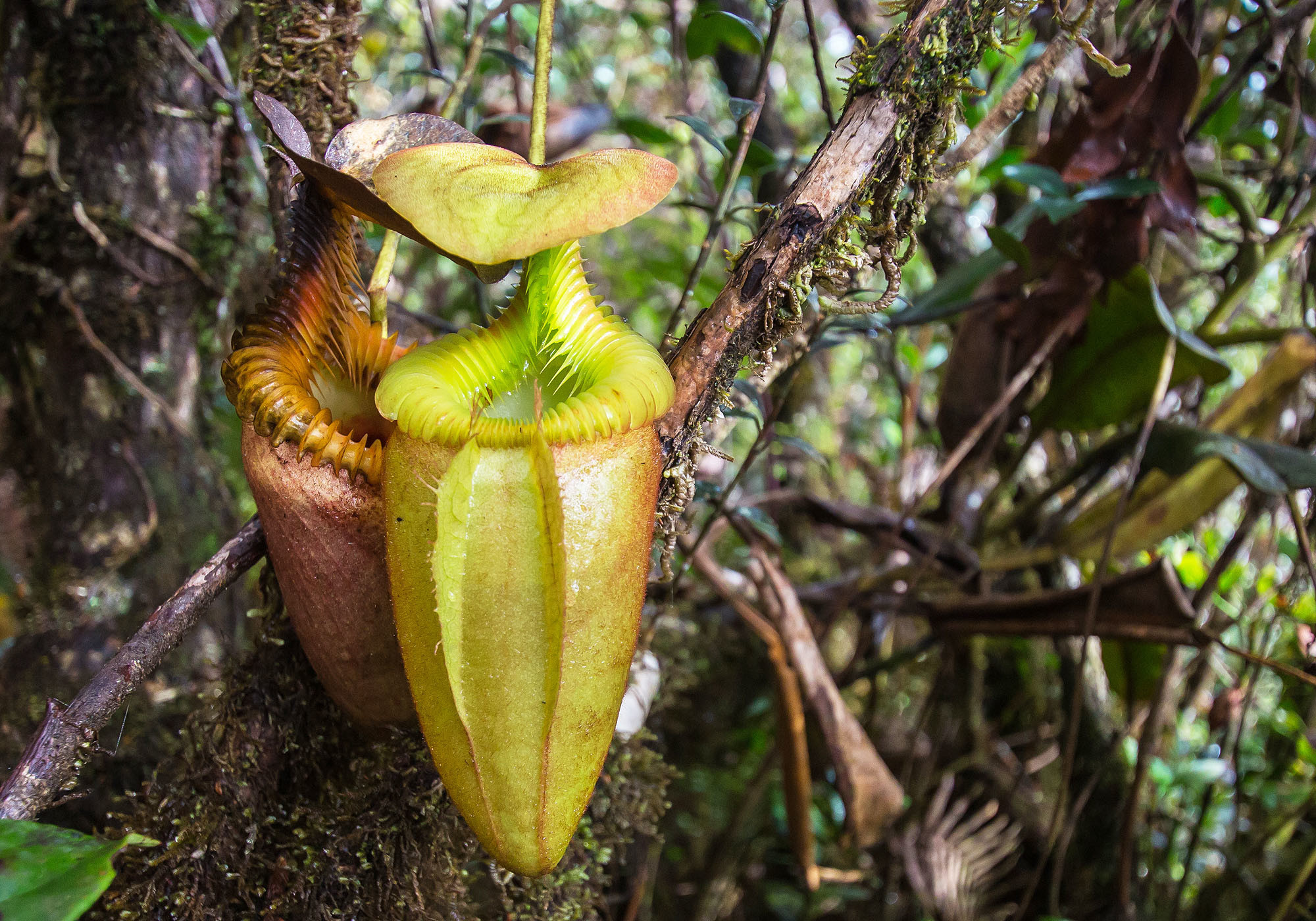 A carnivorous, giant pitcher plant