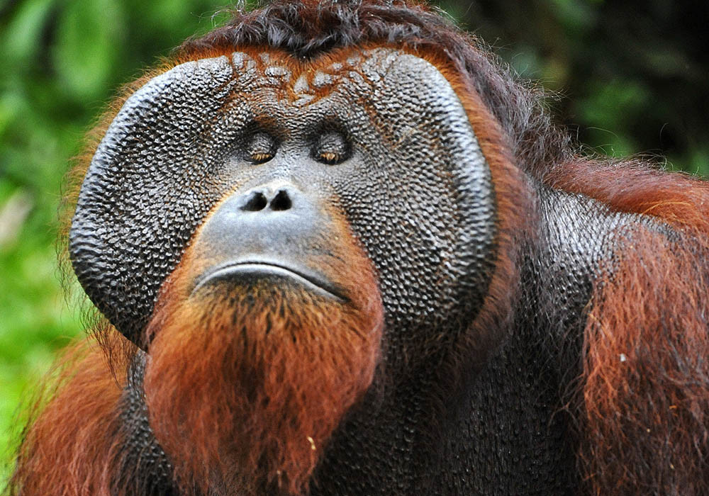 An adult male orangutan